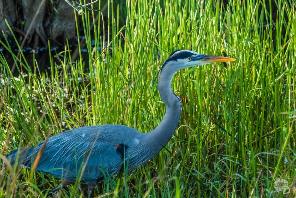 A great blue heron stalking through the rushes looking for breakfast.