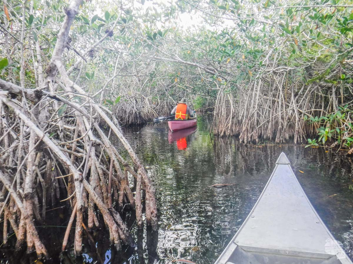 According to the ranger, these mangroves were blown into the midst of the Everglades by a hurricane and are not growing all that well due to the lack of saltwater.