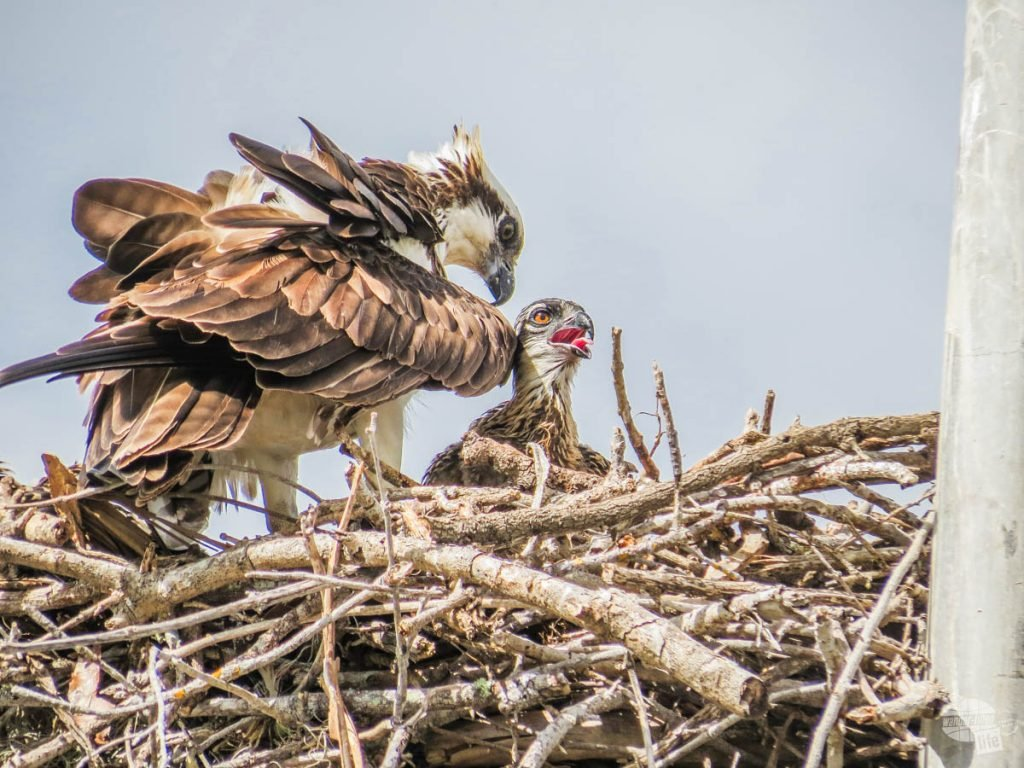 An osprey tending to its chick right next to the marina at Flamingo.