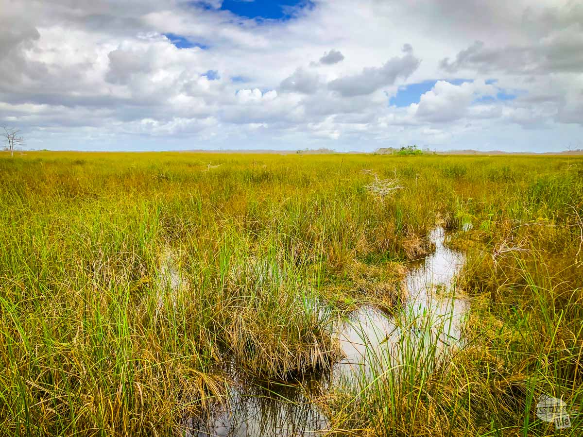 Most folks think of a dense swamp when thinking about the Everlglades but the majority of it looks like this, a river of grass with water flowing through it.