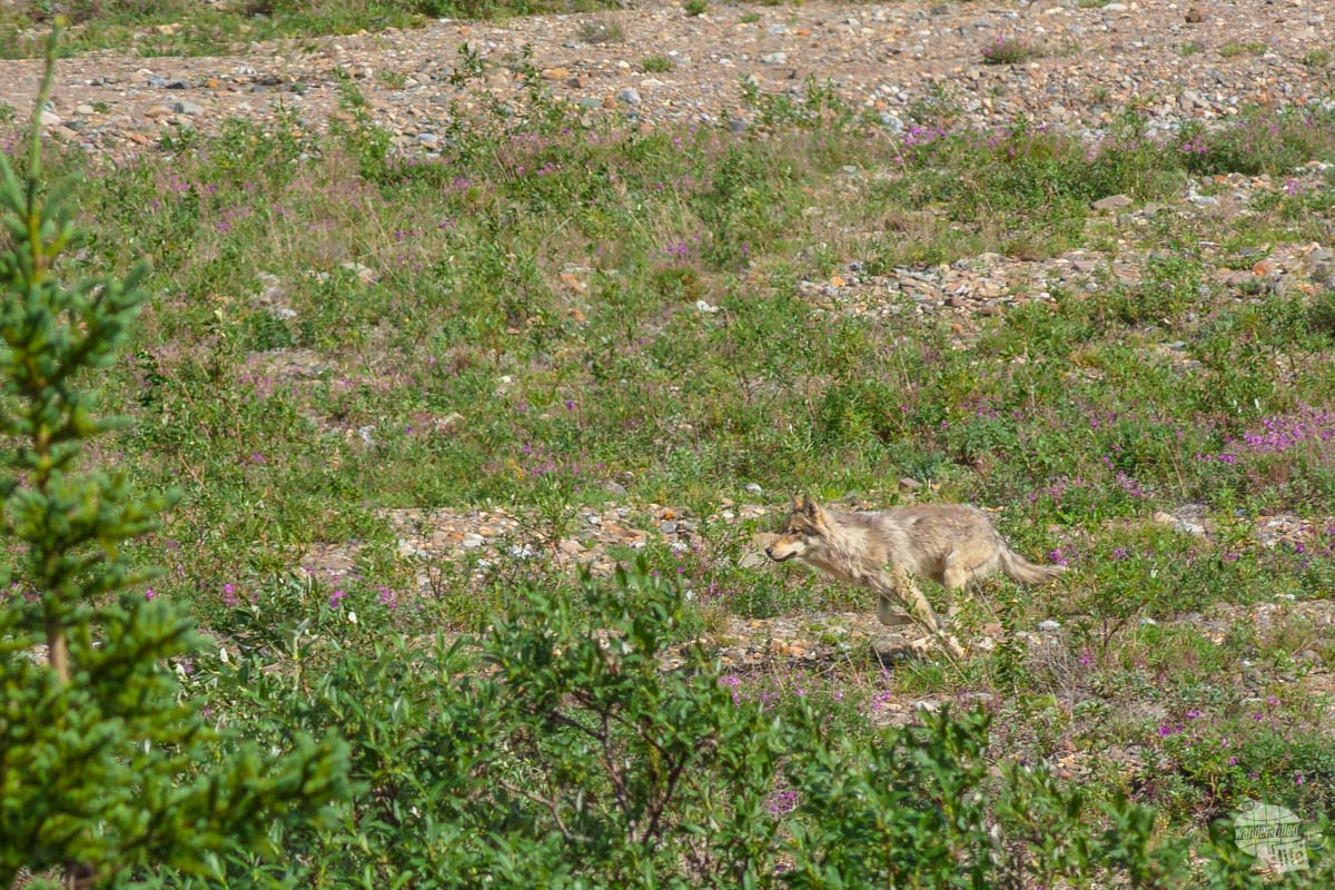We spotted this wolf from the tour bus in Denali National Park.