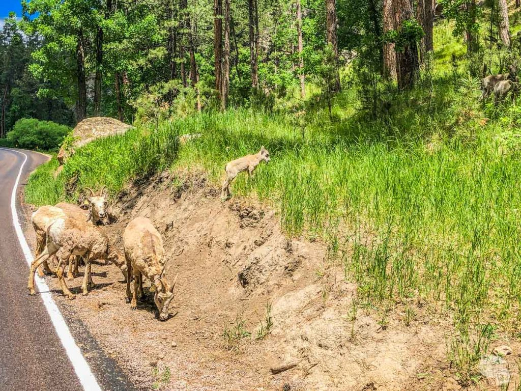 Bighorn ewes and lambs looking for road salt in the dirt on the side of the road.