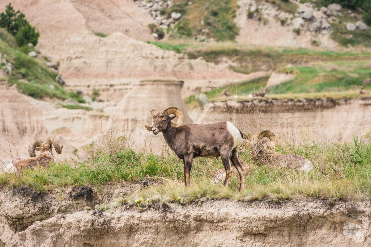 There were several bighorn rams along the Castle Trail.
