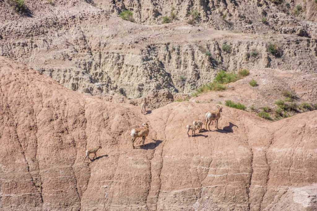 Bighorn sheep making their way along the rocks.