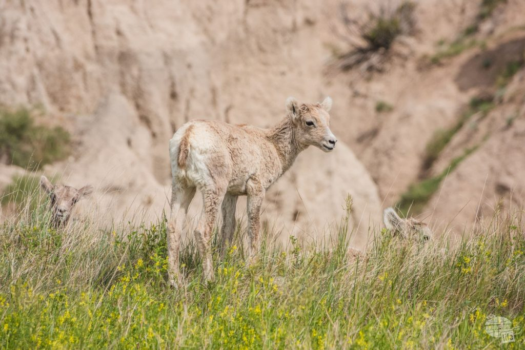 Bighorn Sheep lambs at Badlands NP.