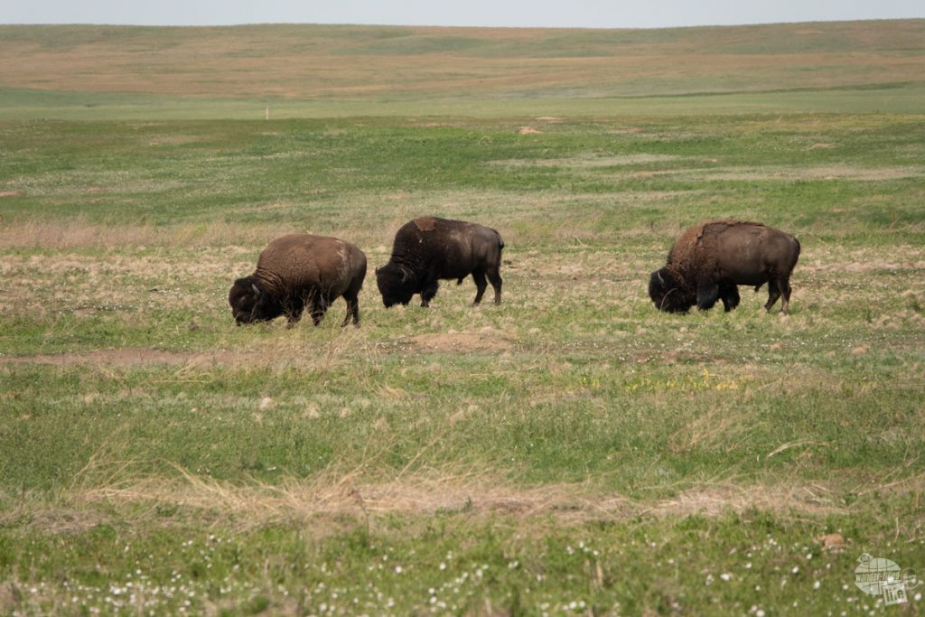 Bison grazing at Badlands National Park.