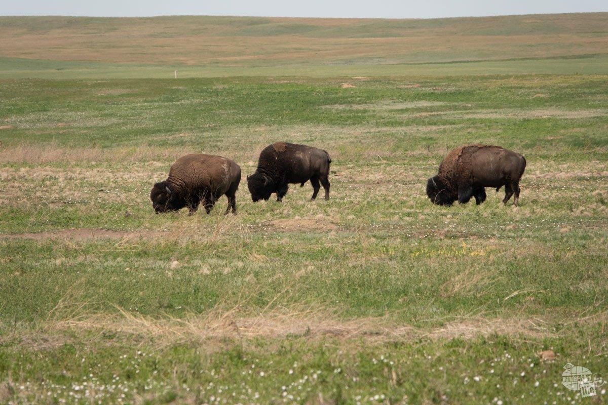 Bison grazing at Badlands National Park.