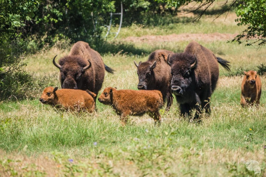 A small herd of bison including three calves in Chickasaw National Recreation Area.