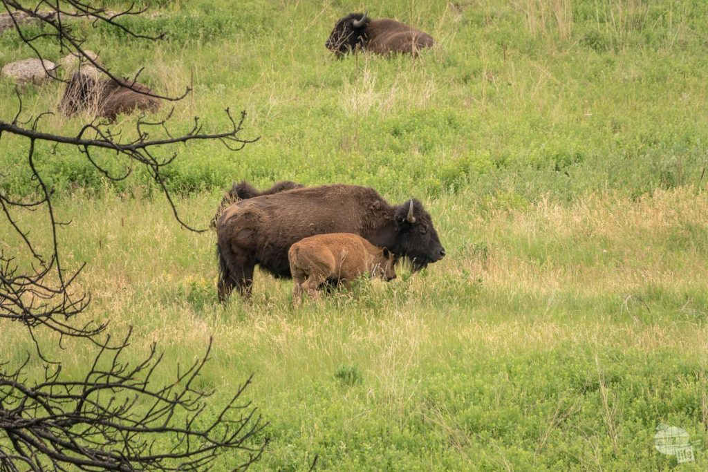 Bison and calf at Custer State Park near Mount Rushmore.