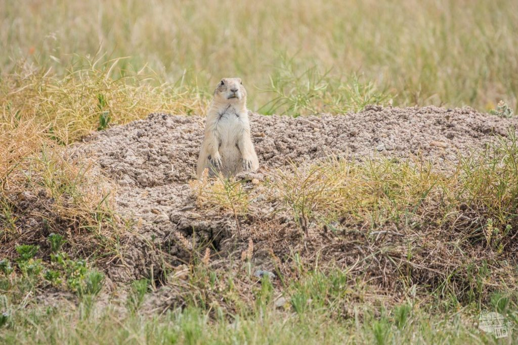 Be sure to look for Prairie Dogs while visiting Badlands National Park.