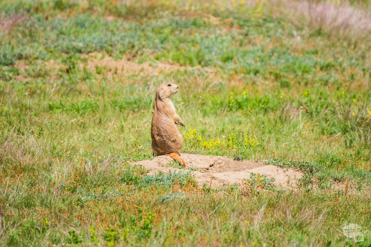 One of our favorite things to do at Devils Tower is watch the prairie dogs. This little guy spent a while chirping at us.