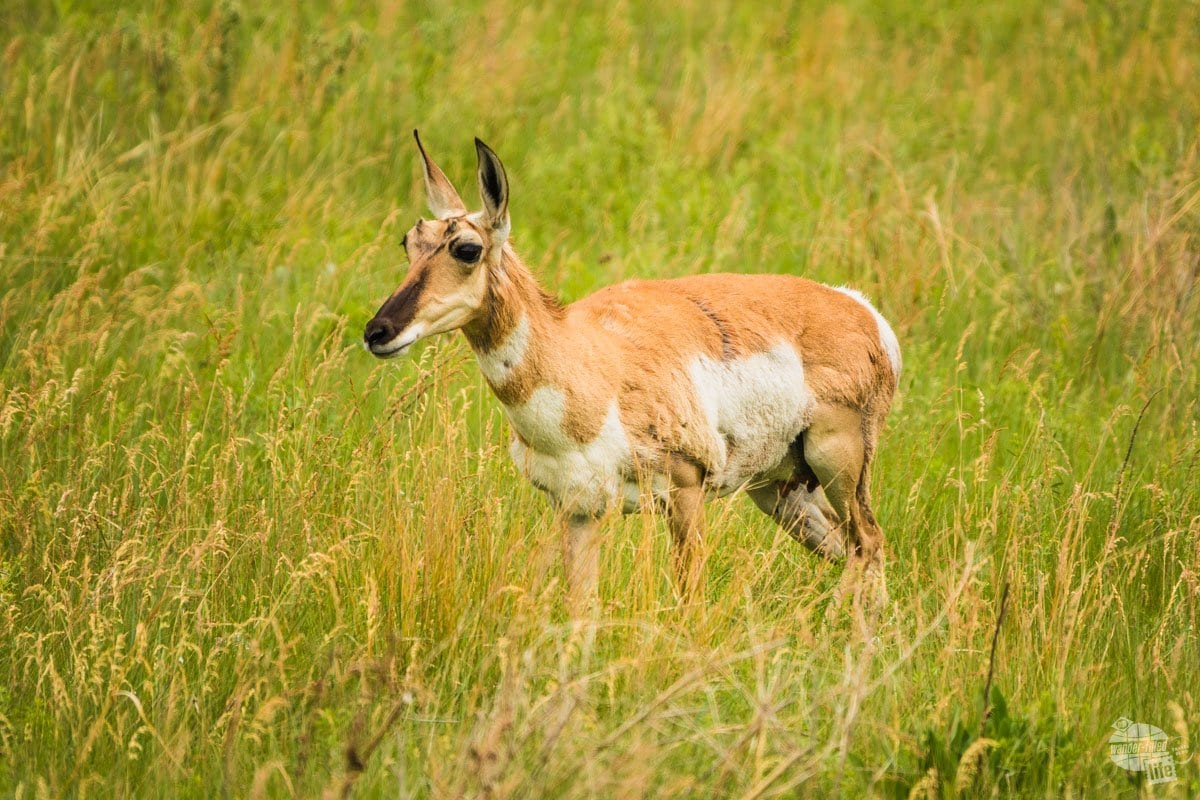 There's all kinds of wildlife at Custer State Park, like this pronghorn antelope.