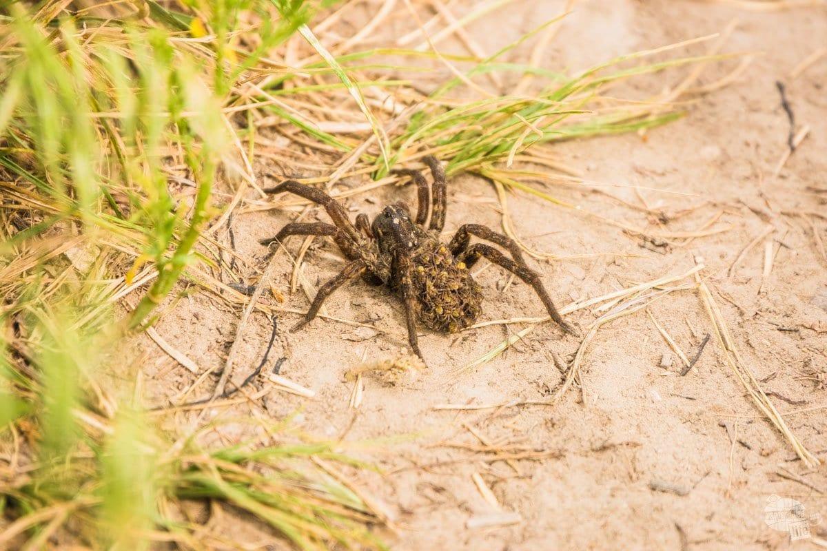 A tarantula carrying its babies in Badlands NP.