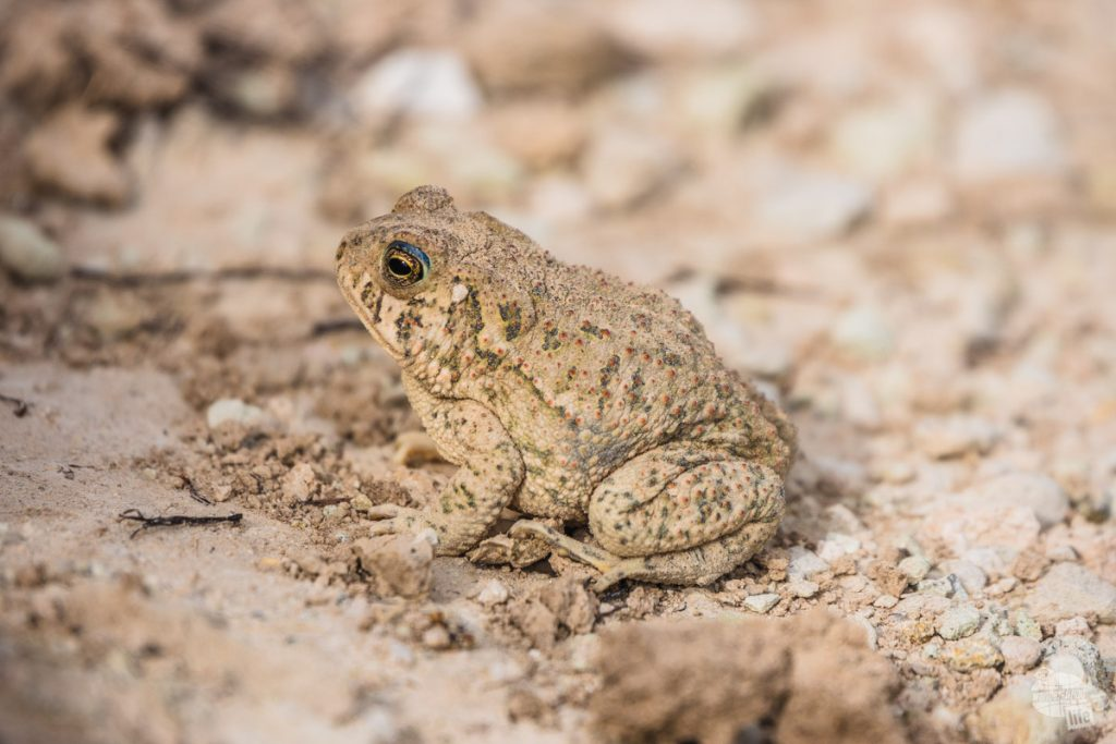 A toad along the trail in Badlands National Park.