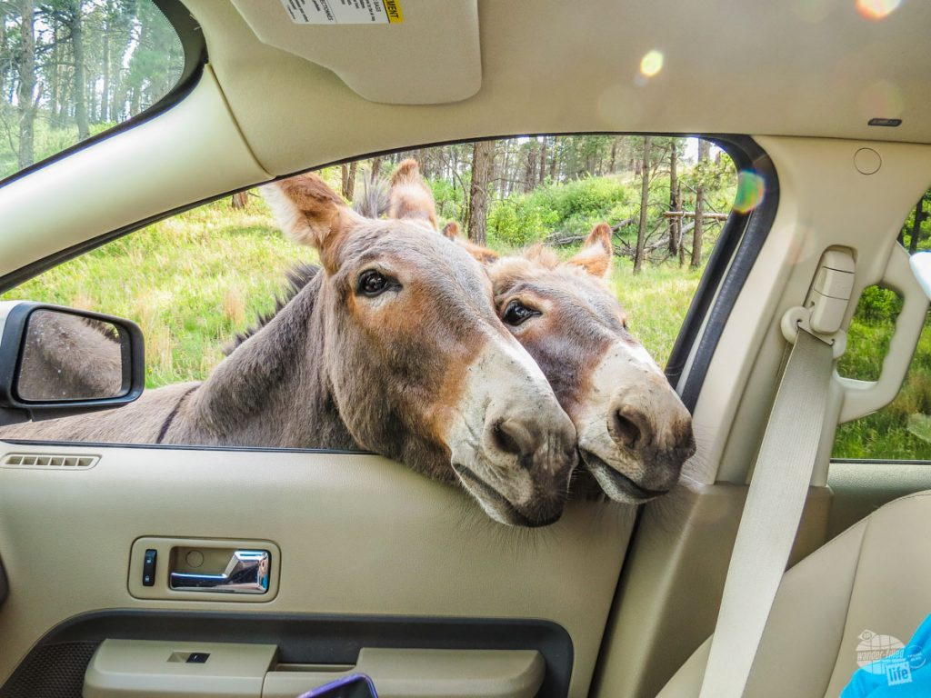 Beggin Burros doing what they do best.