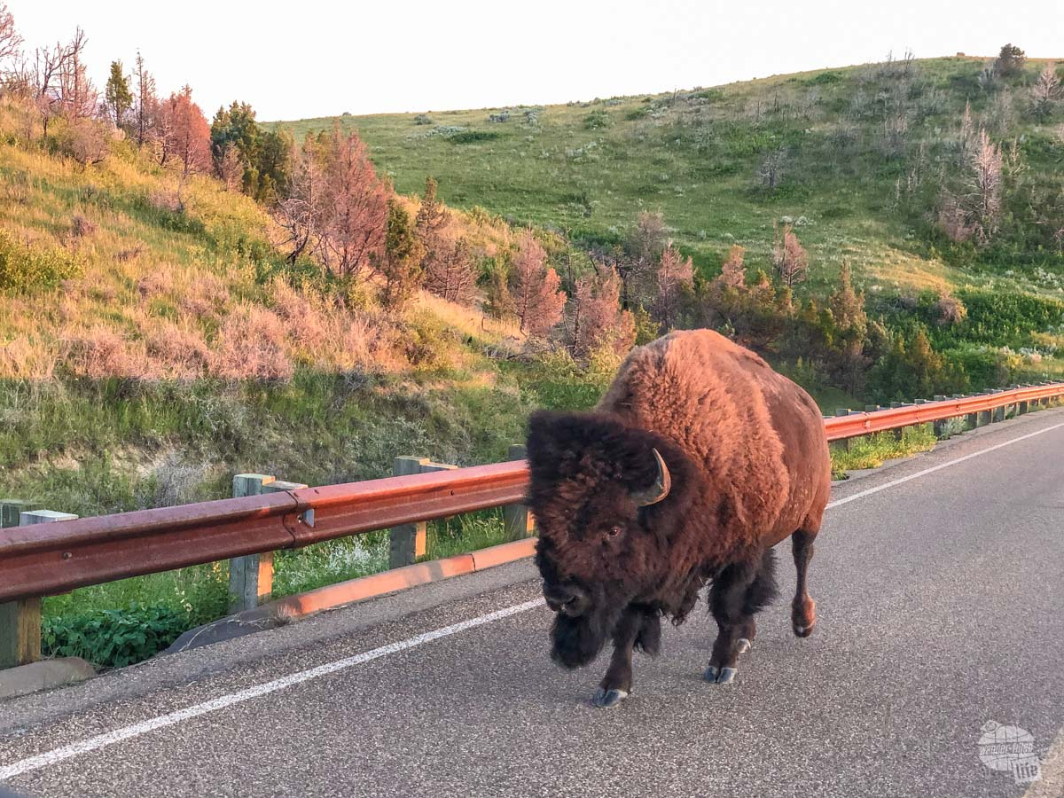You're sure to see bison at Theodore Roosevelt NP.
