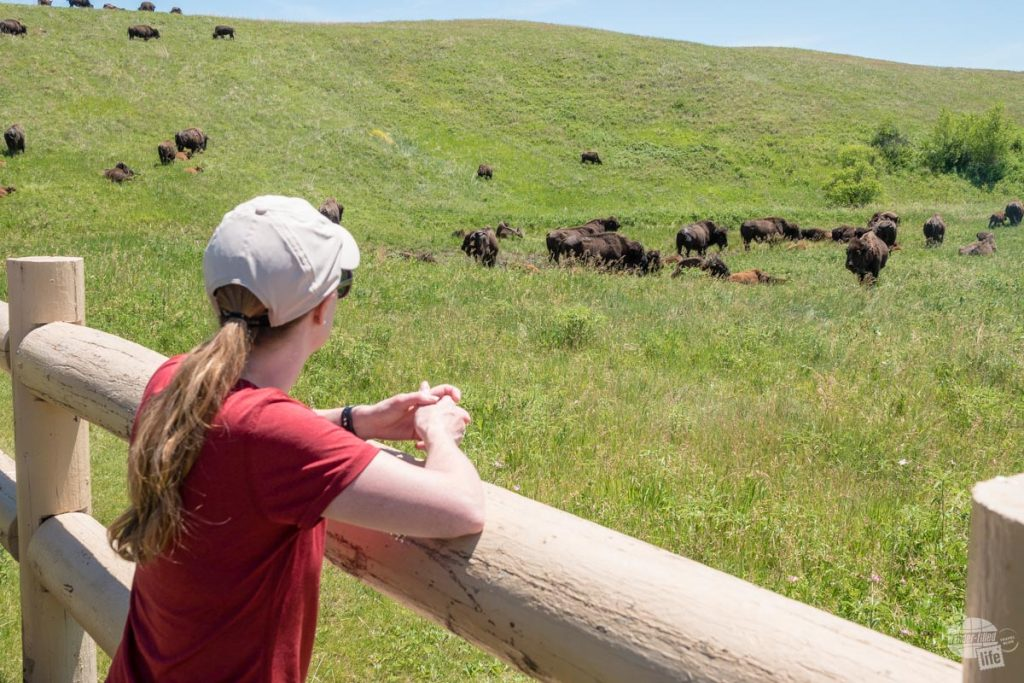 Watching the bison is one of our favorite things to do at Custer State Park.