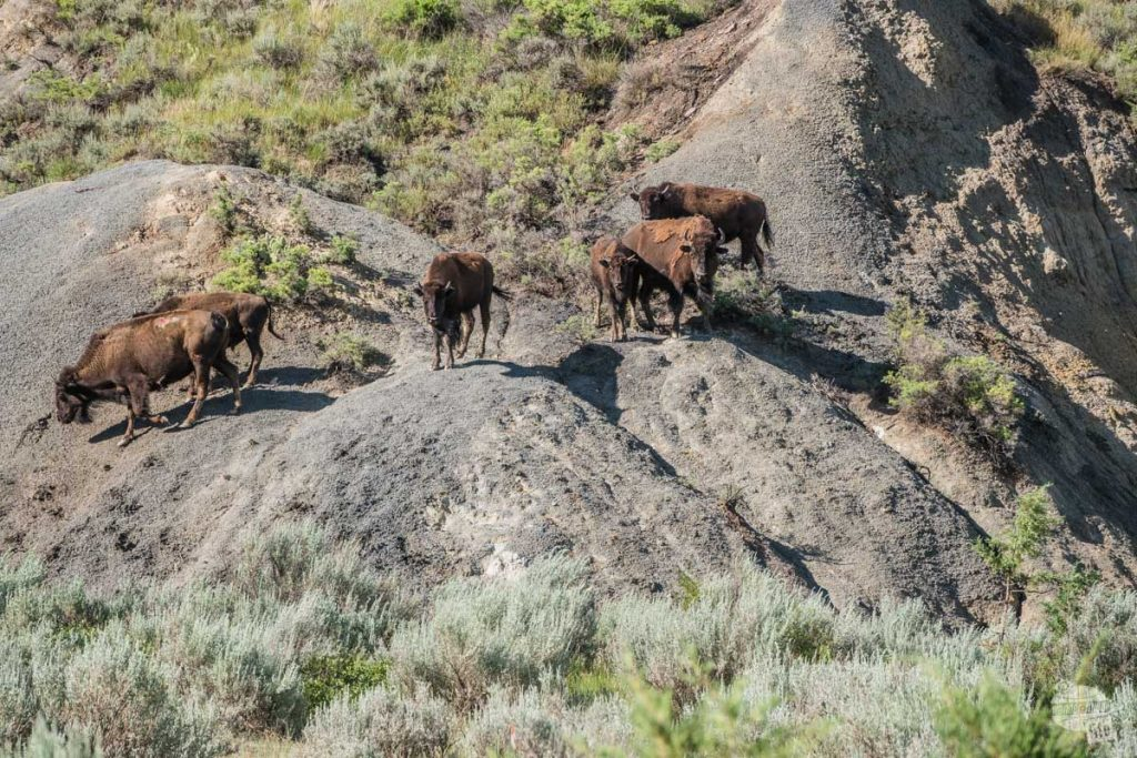 Bison herd as we walked out of the woods on the trail.