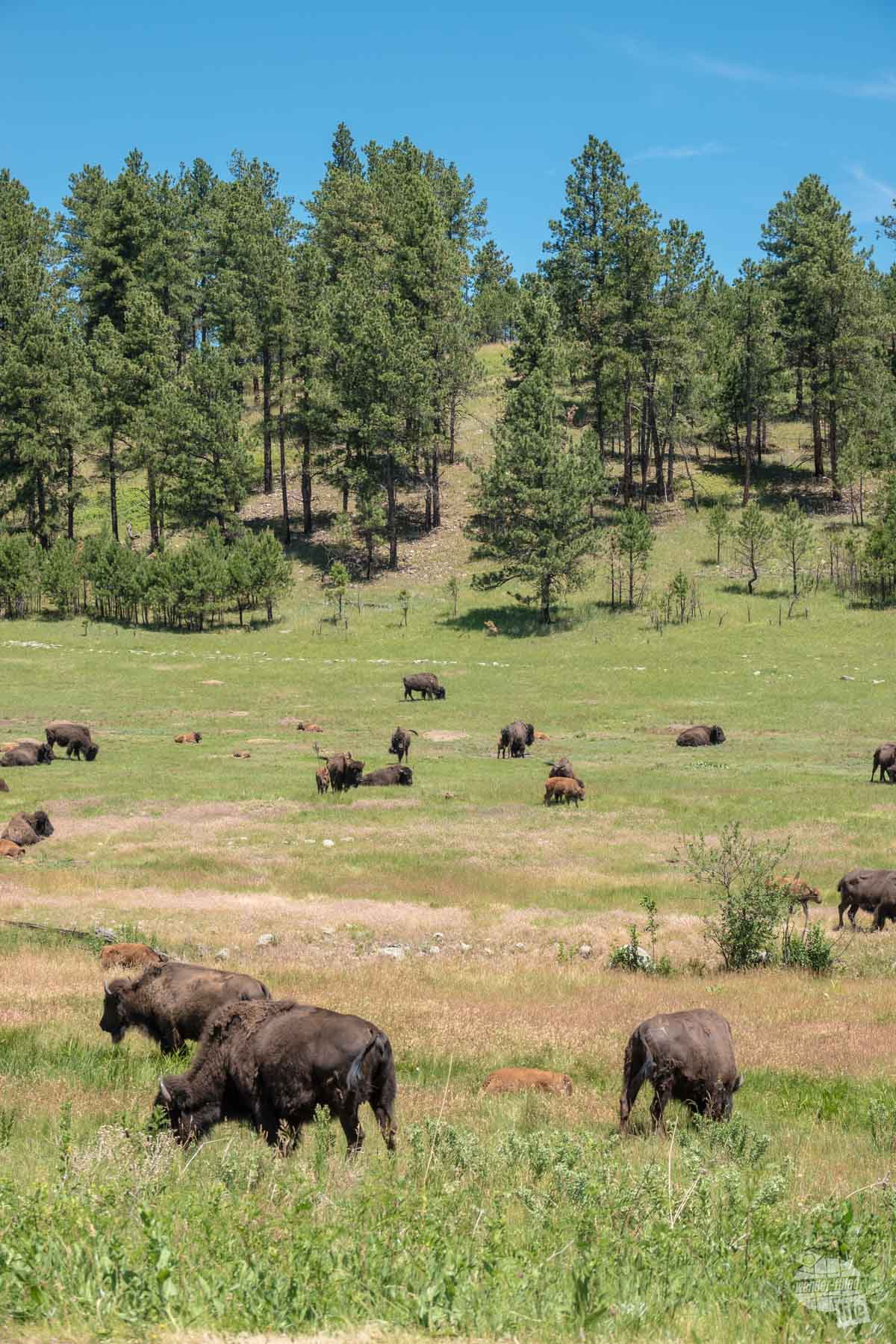 Bison herd in Custer State Park.