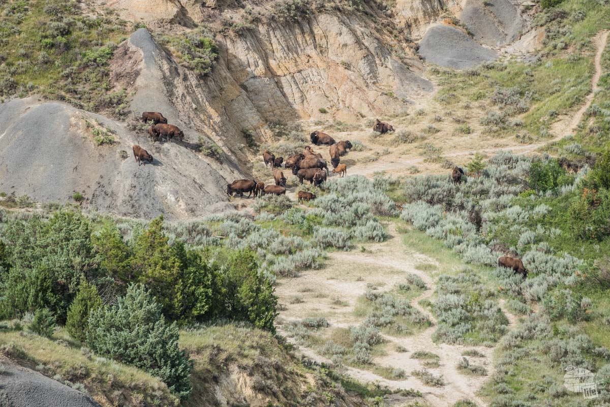 A bison herd we spotted in the distance... and got to see up close and personal later on.