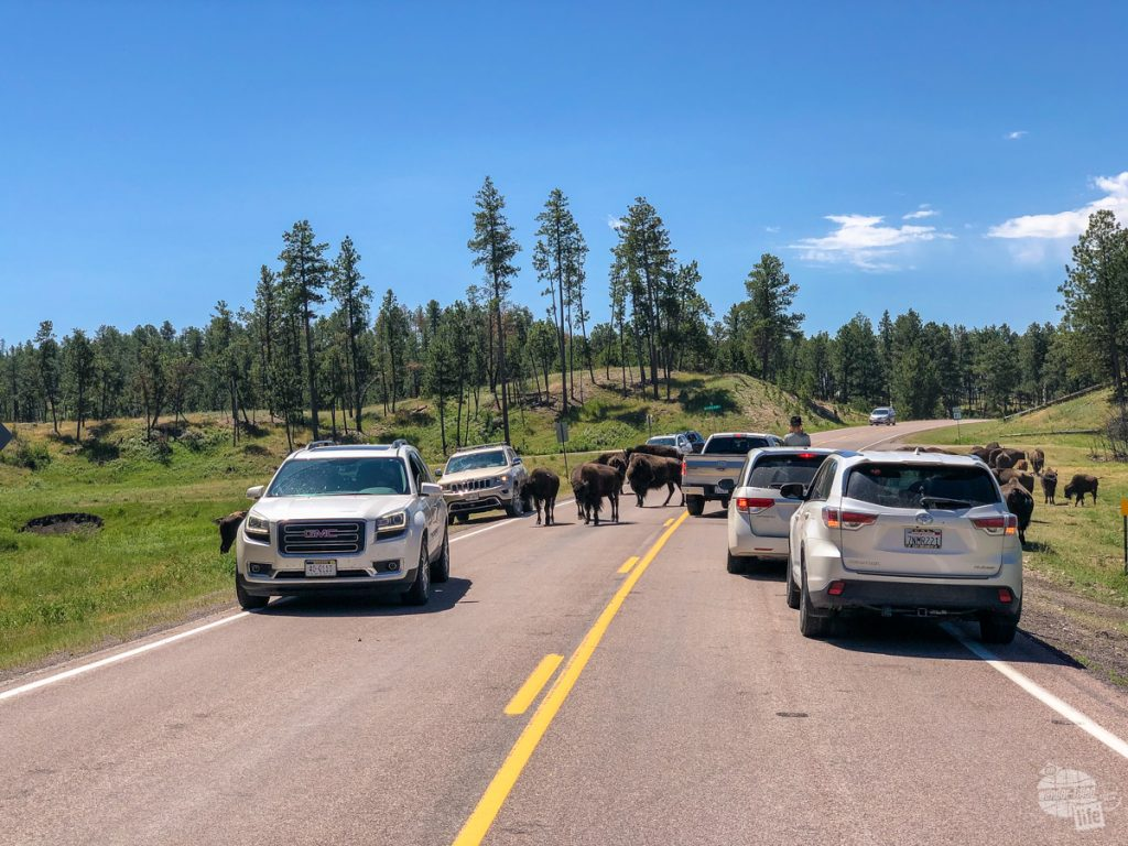 You never know when the bison will decide to stand in the road at Custer State Park.