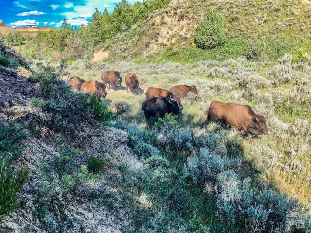 Bison stampeding by.