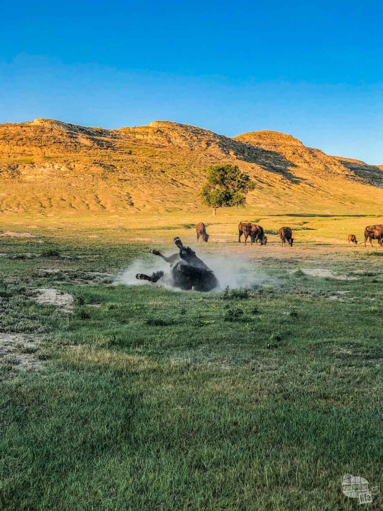 A bull bison wallowing in Theodore Roosevelt National Park.