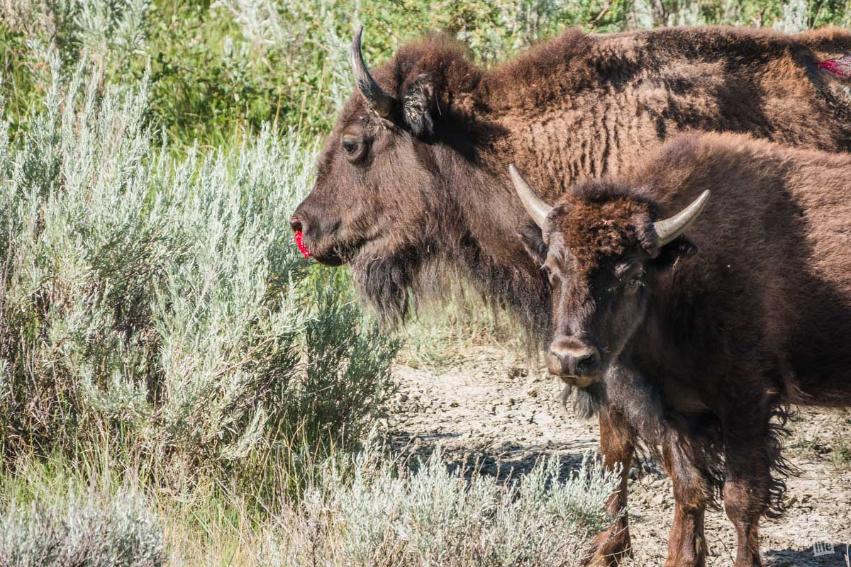 One of the bison cows had a bloody nose following the stampede. We aren's sure why.