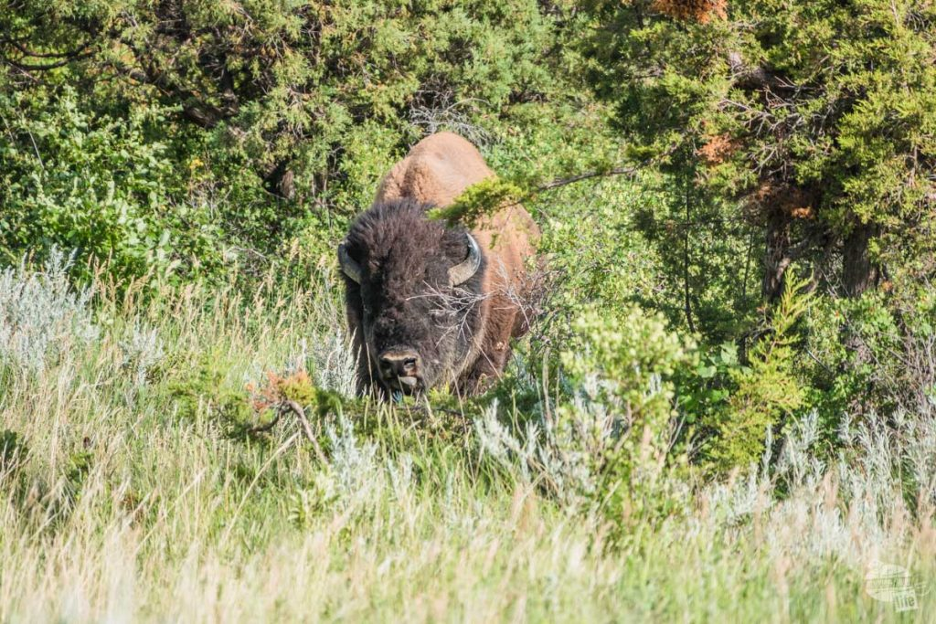 Bull bison along the Caprock Coulee Trail.