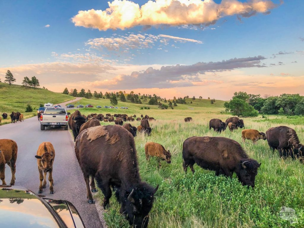 A bison jam on the Wildlife Loop in Custer State Park, one of the scenic drives in the Black Hills.