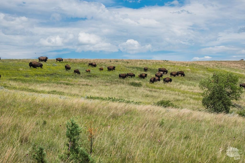 Spotted these guys just off the road in the north unit of Theodore Roosevelt National Park.