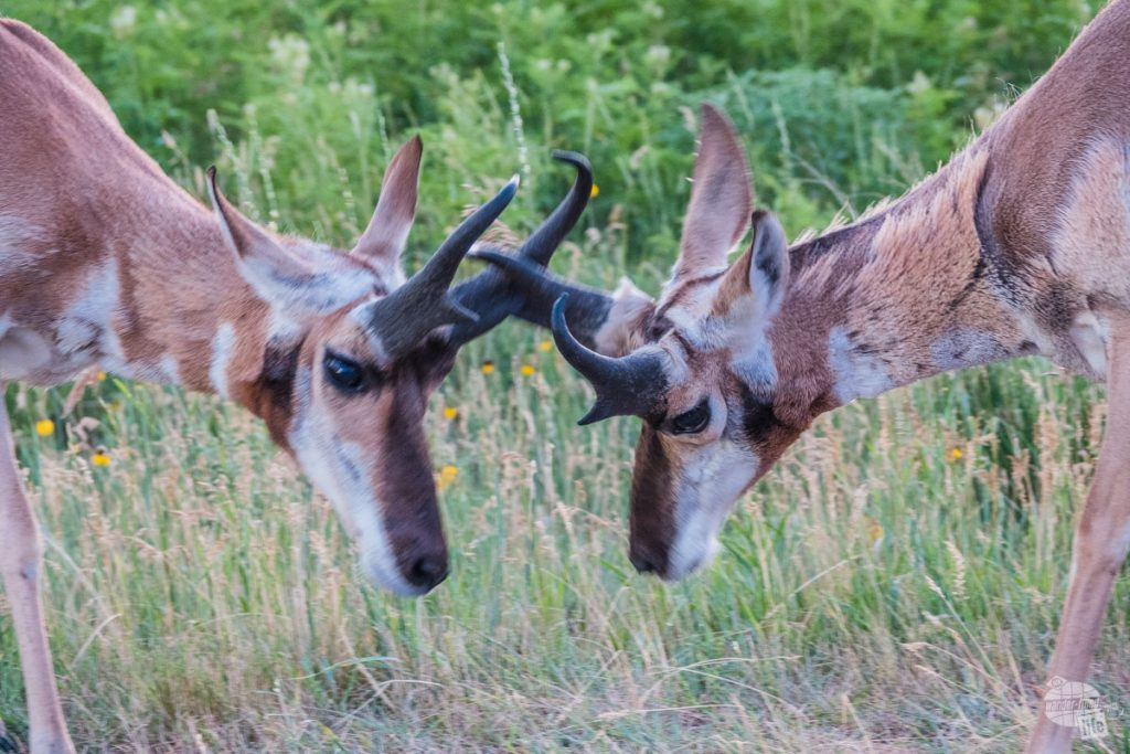 Two pronghorns play fighting in Custer State Park. Taken with the RX10.