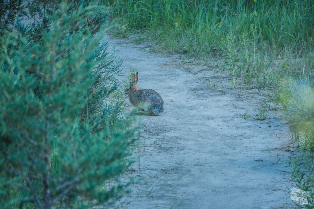 Spotted this rabbit along the trail. He was a welcome respite from the bison.