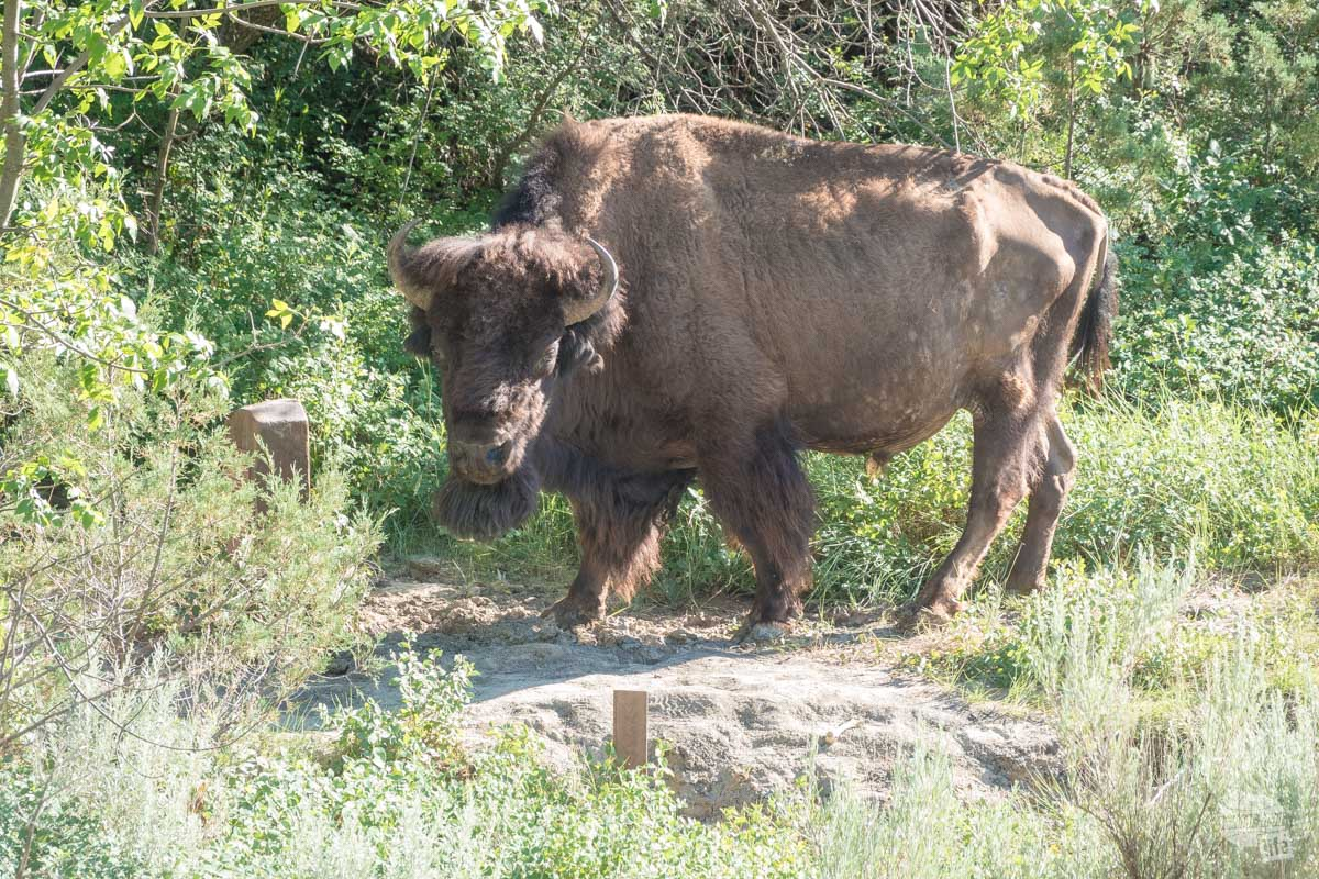 This big bull was using the trail marker to scratch his face.