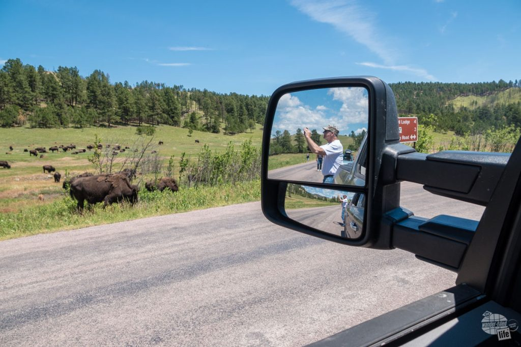 Be careful when taking pictures of bison - it's always best to stay in your vehicle.