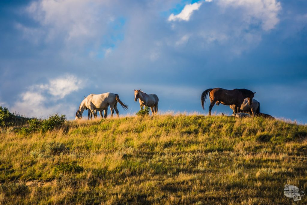 Wild horses hanging out on a butte in Theodore Roosevelt National Park.