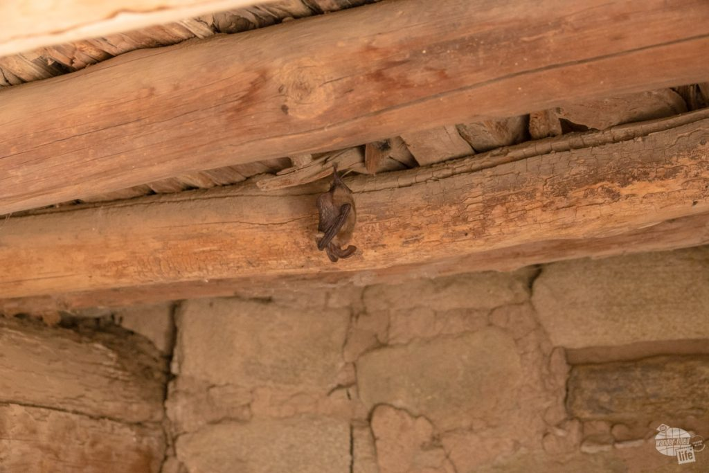 A sleeping bat at Aztec Ruins National Monument. The sign says not to take pictures but we made a point to step away, use a zoom lens with no shutter noise or flash.