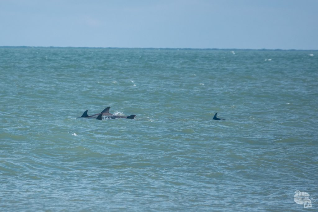 A pod of dolphins chasing after a school of fish off Cape Lookout.