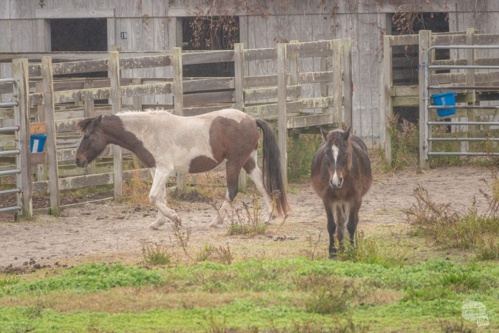 The Ocracoke ponies are a neat part of Cape Hatteras NS.