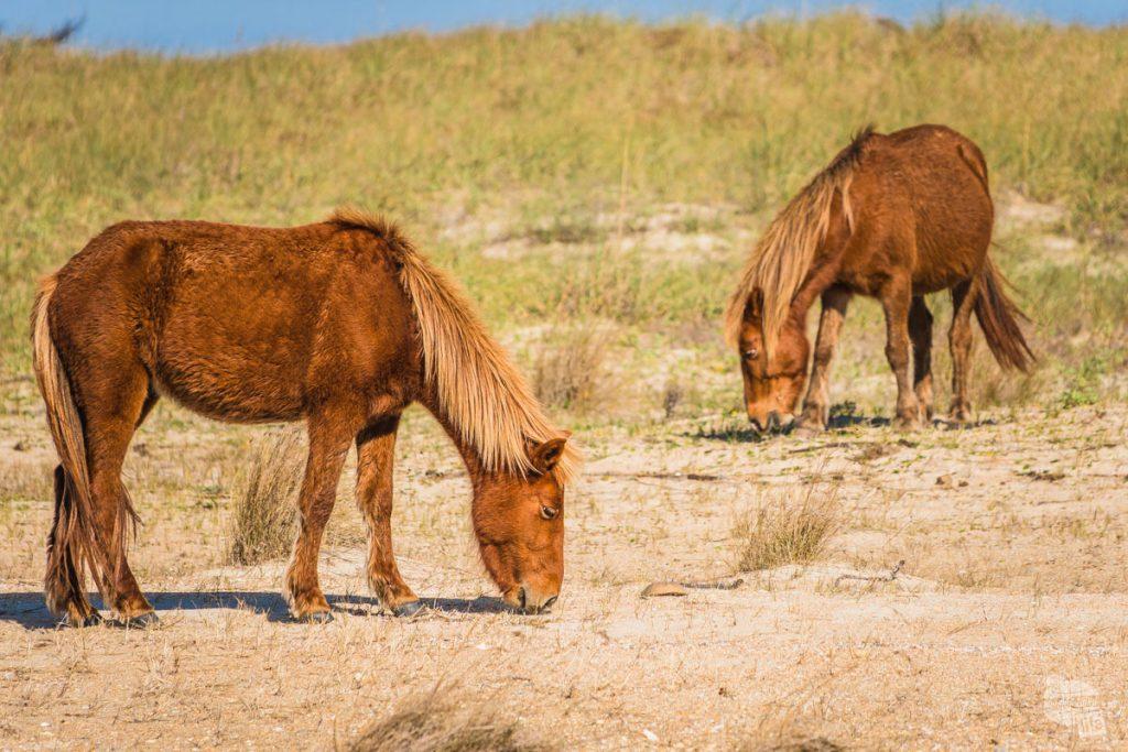 Wild Horses grazing on Shackleford Banks.