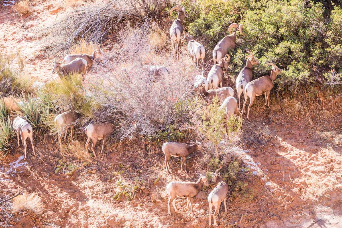 Bighorn sheep in Zion National Park.