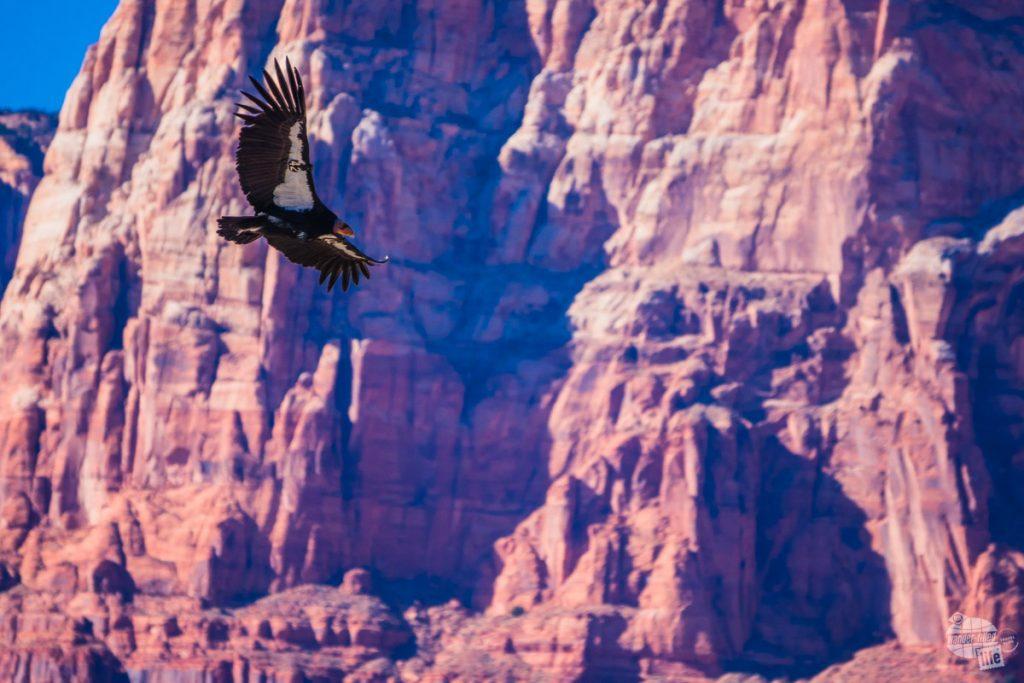 A California condor soaring at Navajo Bridge.