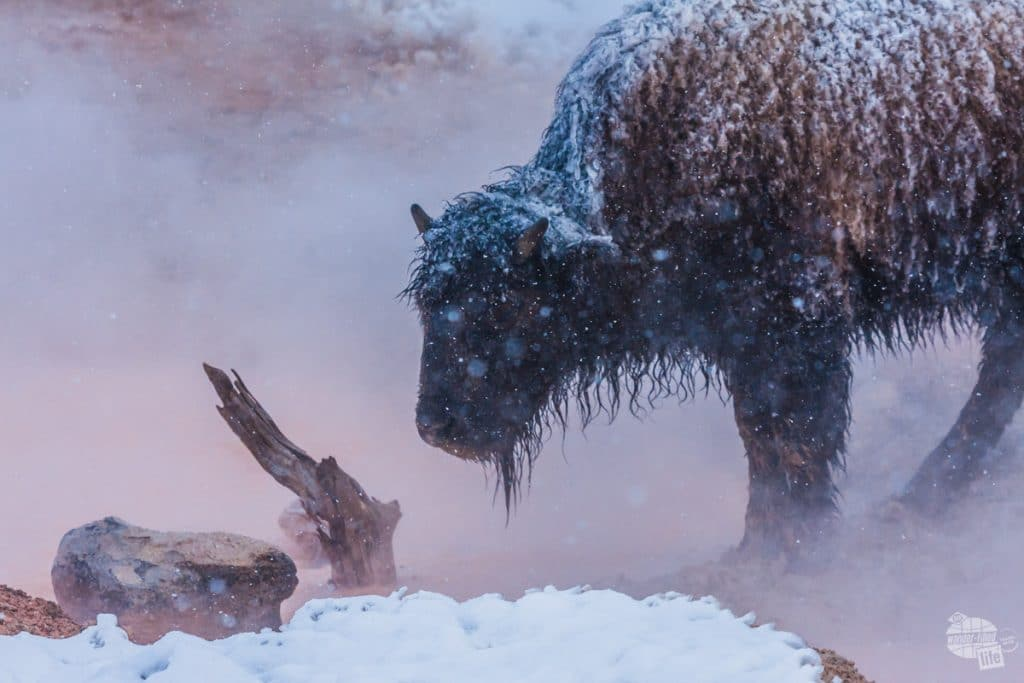 This bison is hanging out by a thermal feature to stay warm.