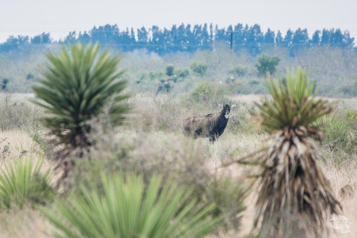A nigali at Palo Alto Battlefield