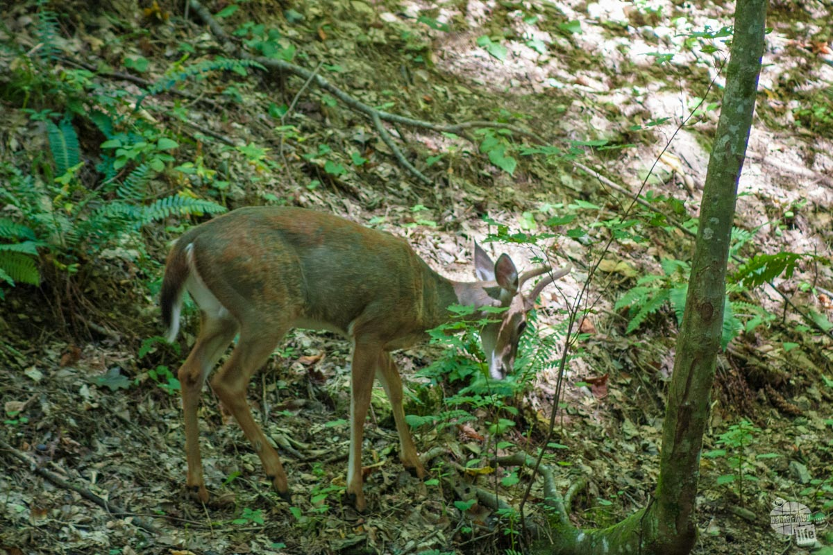 A buck we spotted off the Rich Mountain Loop.