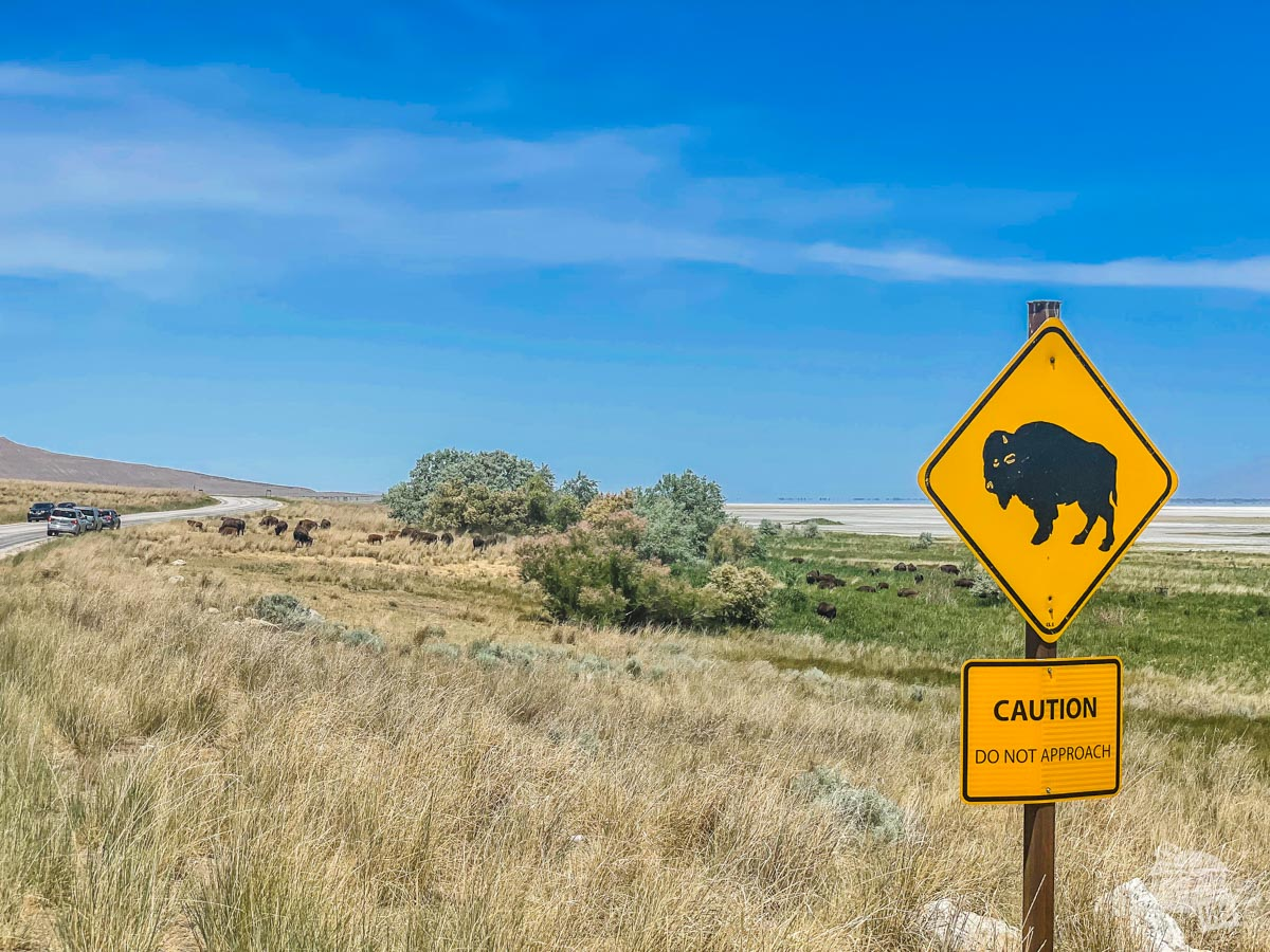 Bison on Antelope Island